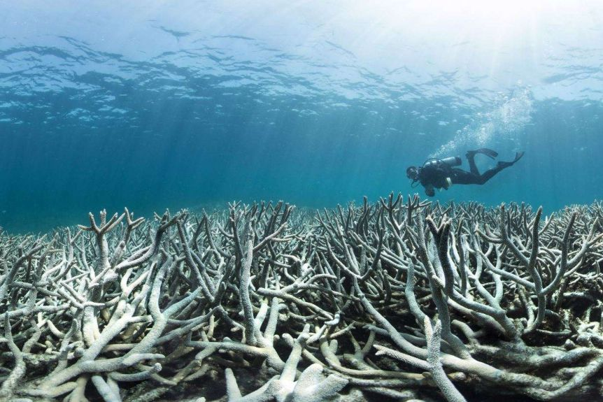 A scuba diver moves in the ocean over a row of bleached coral